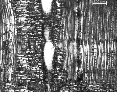 LEGUMINOSAE DETARIOIDEAE Copaifera salikounda