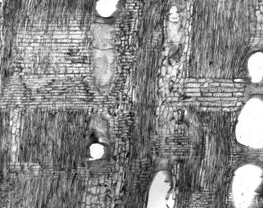 LEGUMINOSAE MIMOSOIDEAE Prosopis africana