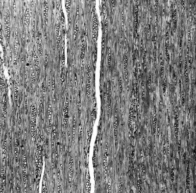 SOLANACEAE Lycianthes lycioides