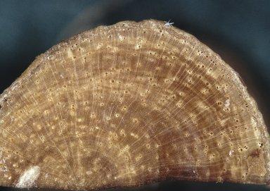 LEGUMINOSAE CAESALPINIOIDEAE Mimosoid Clade Archidendron kinabaluense