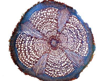 BIGNONIACEAE Tynanthus cognatus