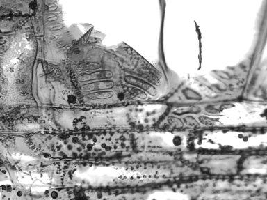 LAURACEAE Machilus odoratissima