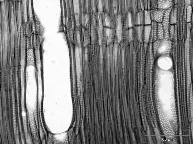 ROSACEAE Holodiscus discolor