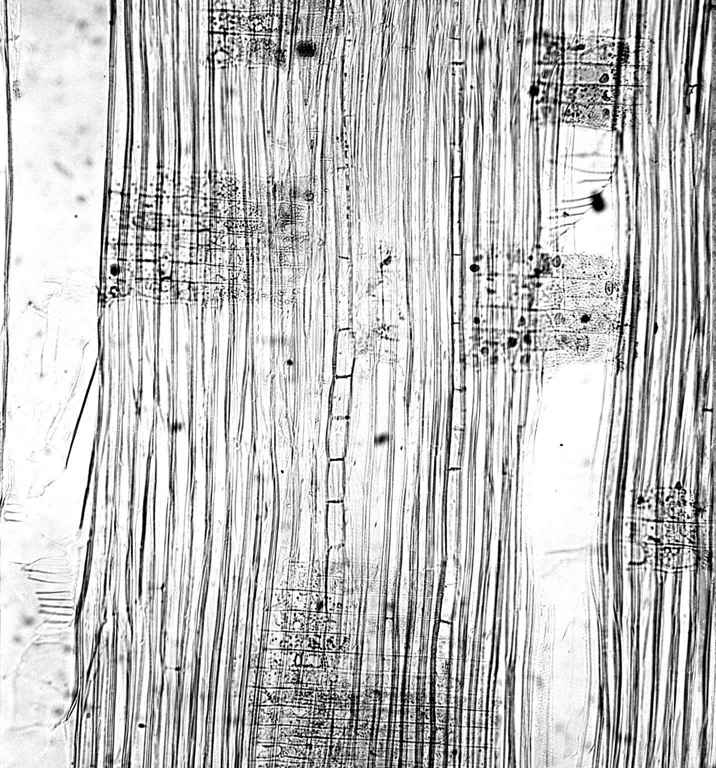 BETULACEAE Betula papyrifera
