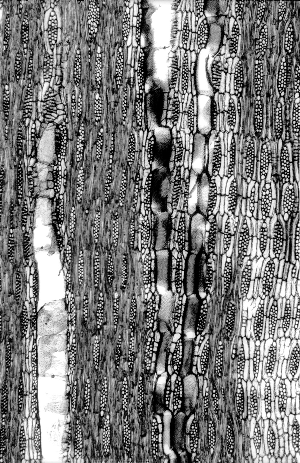 LEGUMINOSAE PAPILIONOIDEAE Millettia glabra