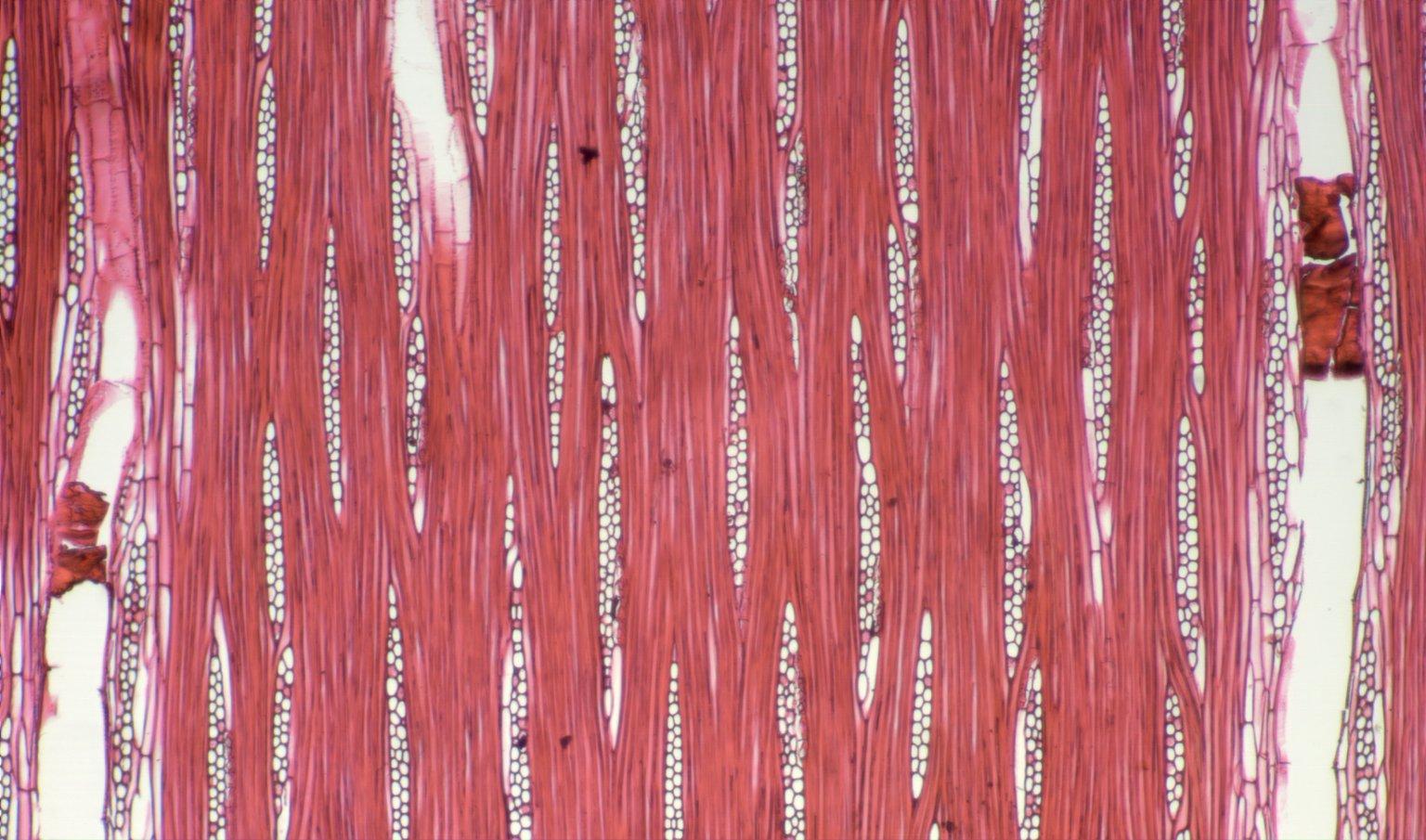 LEGUMINOSAE DETARIOIDEAE Copaifera religiosa