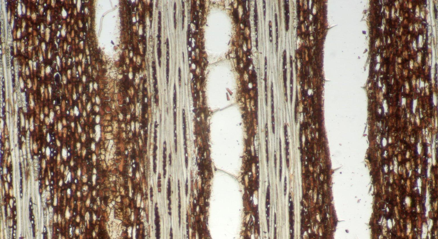 LEGUMINOSAE DETARIOIDEAE Isoberlinia tomentosa