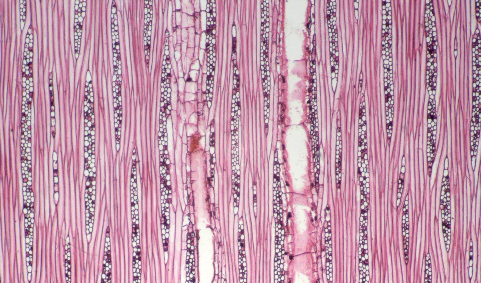 LEGUMINOSAE DETARIOIDEAE Prioria copaifera