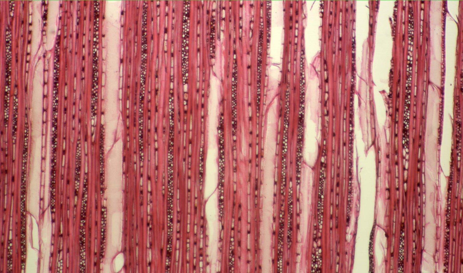 SALICACEAE Casearia arborea