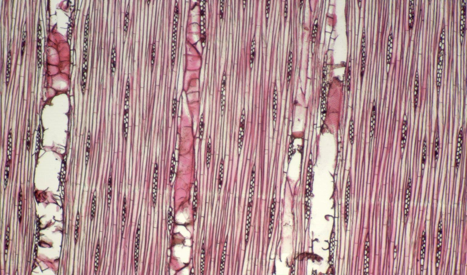 LAURACEAE Pleurothyrium williamsii