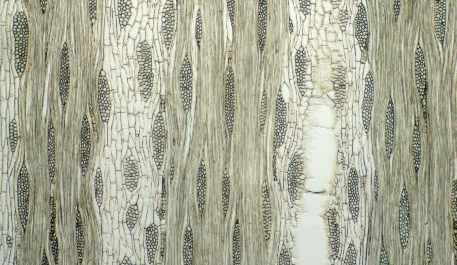 LEGUMINOSAE CAESALPINIOIDEAE Mimosoid Clade Albizia zygia