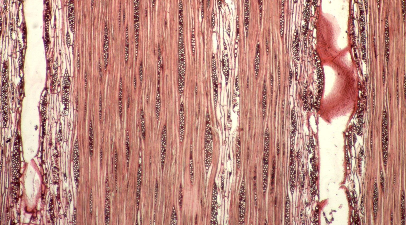 LEGUMINOSAE CAESALPINIOIDEAE Mimosoid Clade Inga velutina