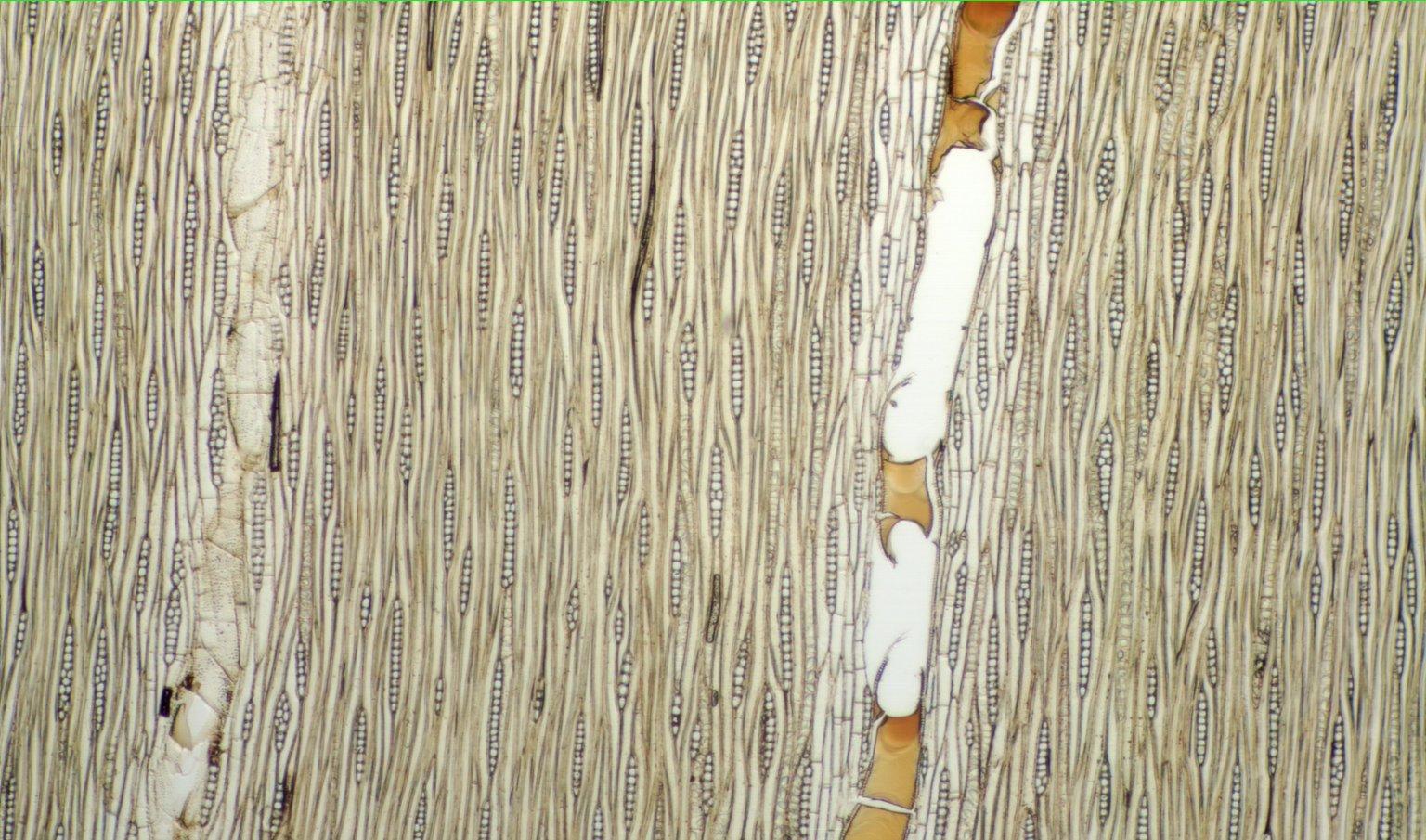LEGUMINOSAE CAESALPINIOIDEAE Mimosoid Clade Lysiloma latisiliquum