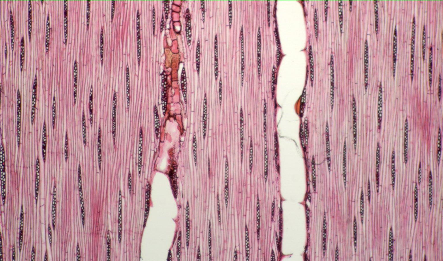 LEGUMINOSAE CAESALPINIOIDEAE Mimosoid Clade Piptadenia leucocarpa