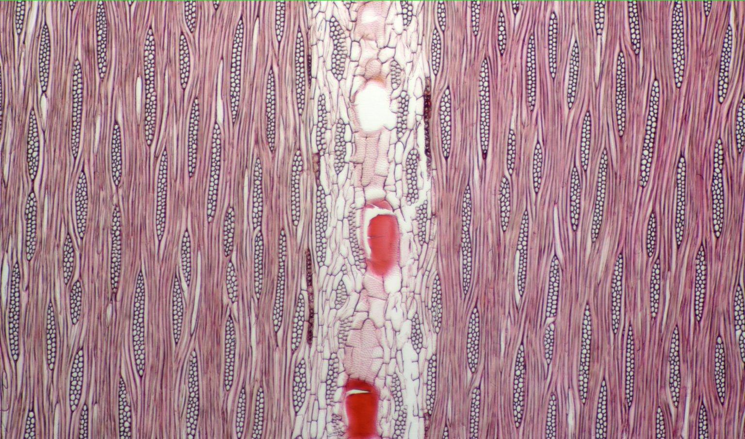 LEGUMINOSAE CAESALPINIOIDEAE Mimosoid Clade Samanea saman