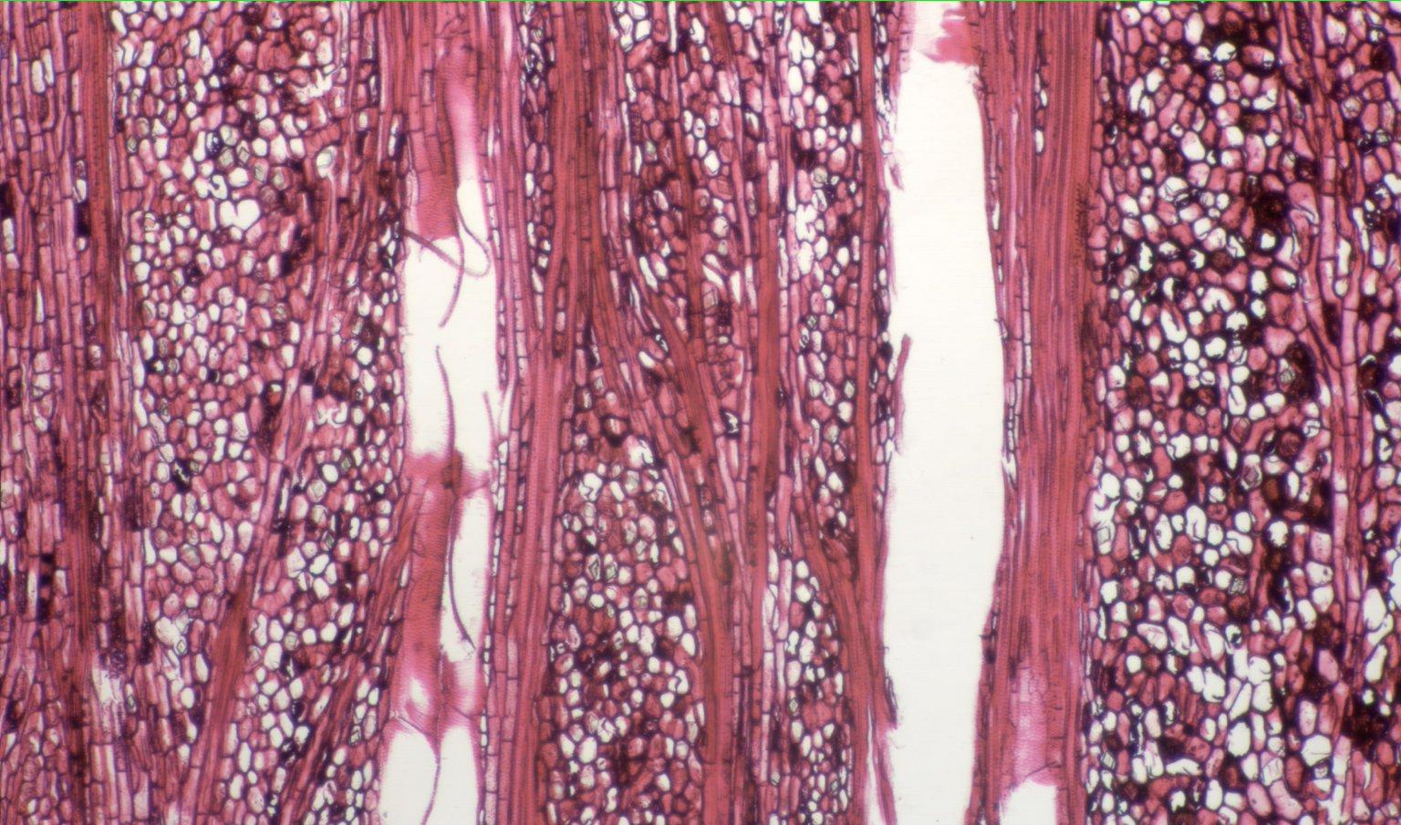 PASSIFLORACEAE Passiflora securiclata