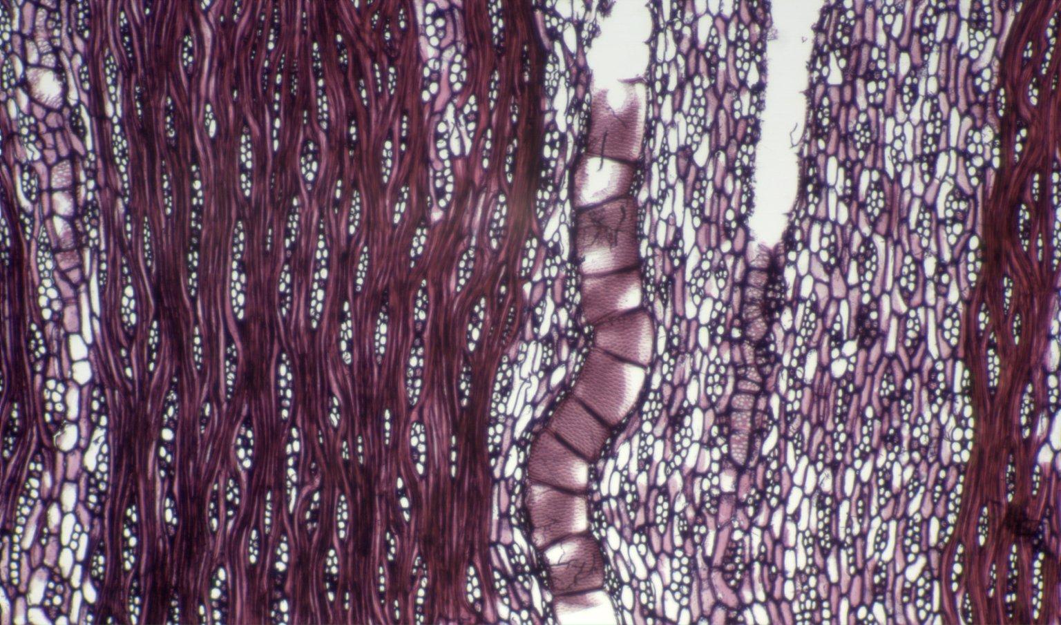 LEGUMINOSAE PAPILIONOIDEAE Gliricidia sepium