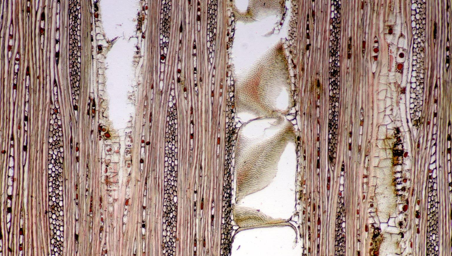 VOCHYSIACEAE Vochysia maxima