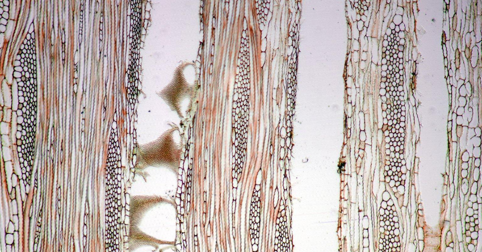 VOCHYSIACEAE Vochysia neyratii