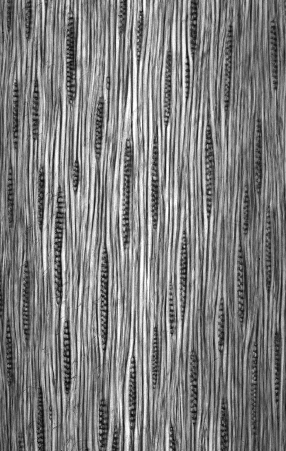 LEGUMINOSAE CAESALPINIOIDEAE Mimosoid Clade Newtonia leucocarpa