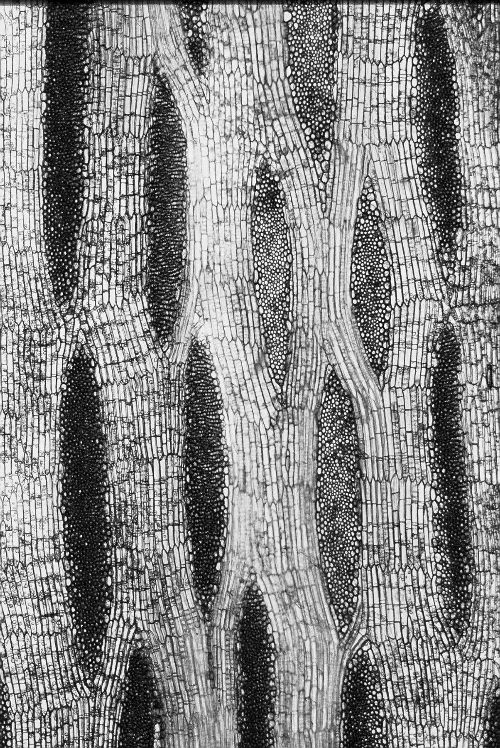 MALVACEAE STERCULIOIDEAE Sterculia oblonga
