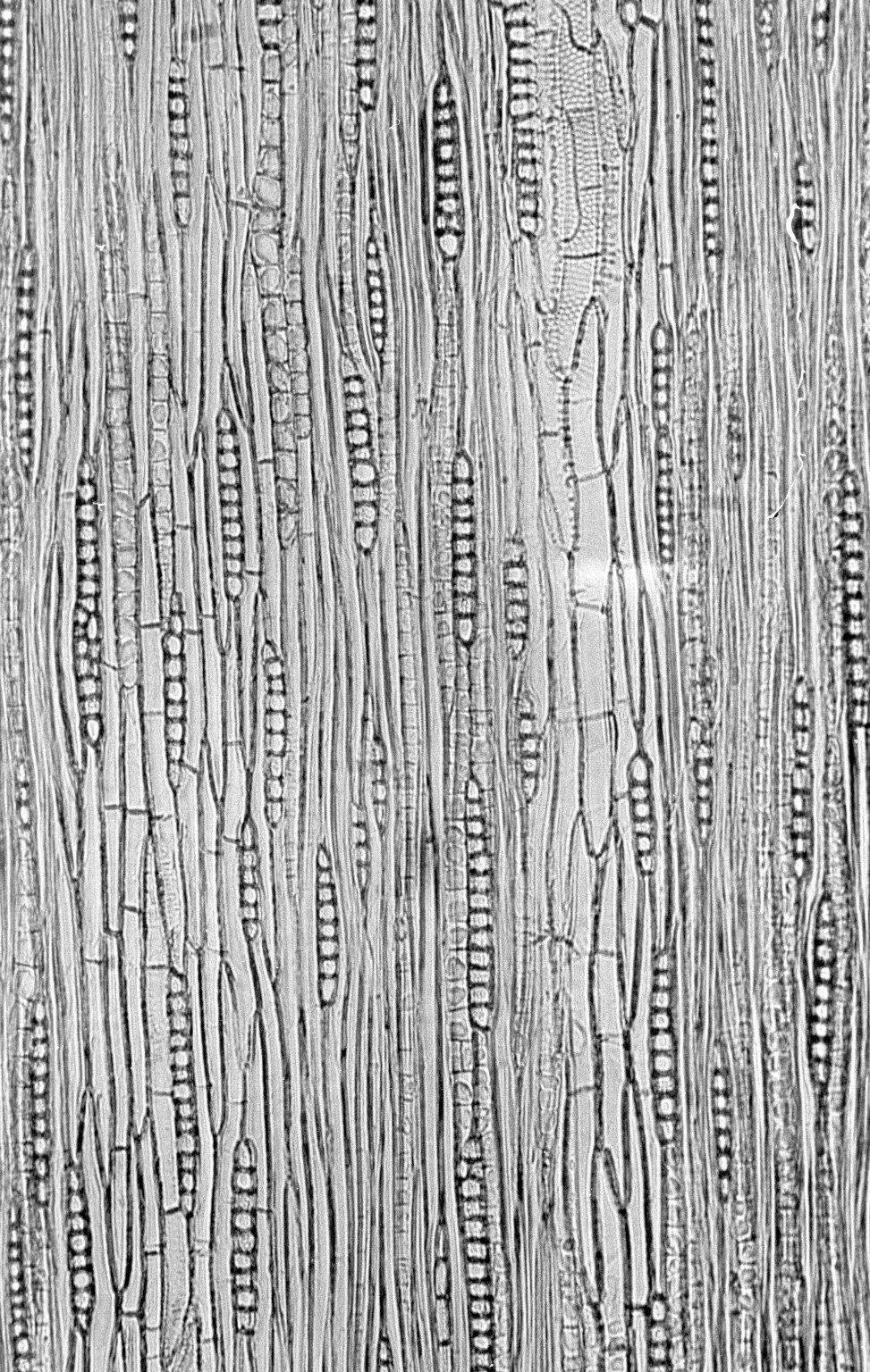 LEGUMINOSAE CAESALPINIOIDEAE Mimosoid Clade Parapiptadenia rigida