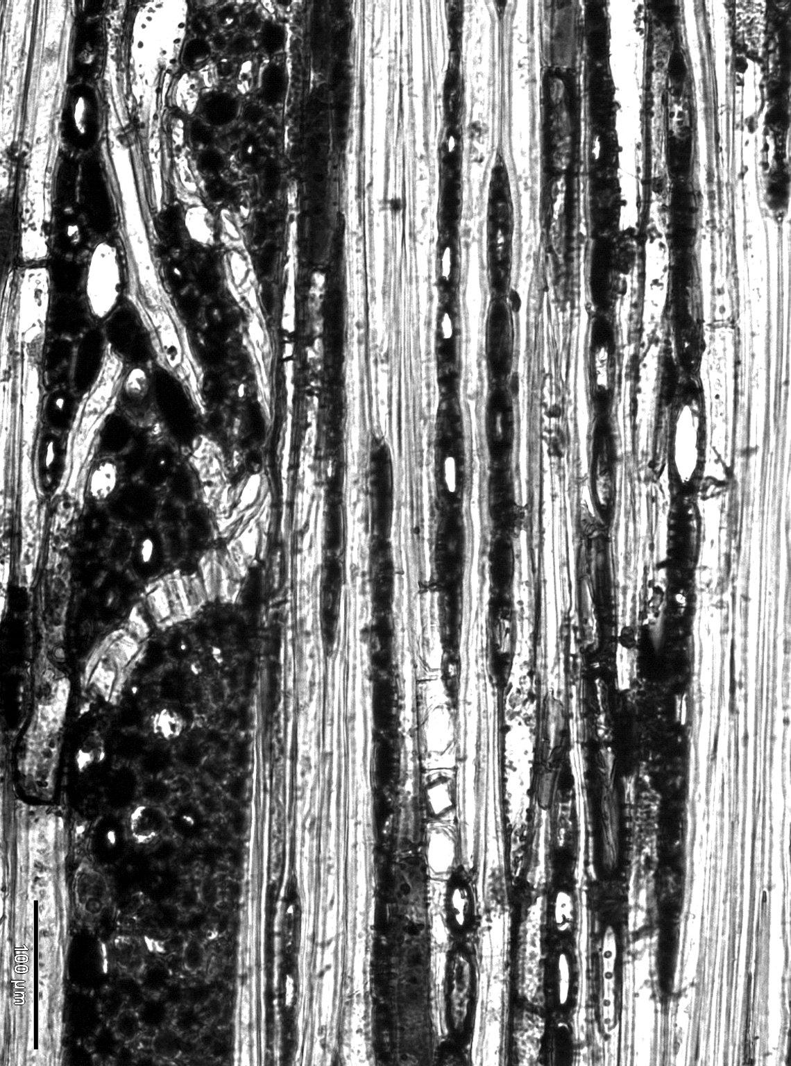 FAGACEAE Trigonobalanus verticillata