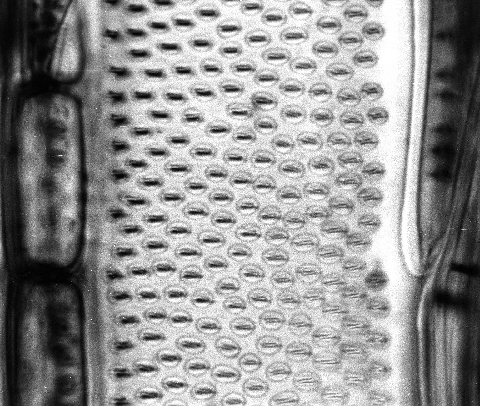 SALICACEAE Banara guianensis