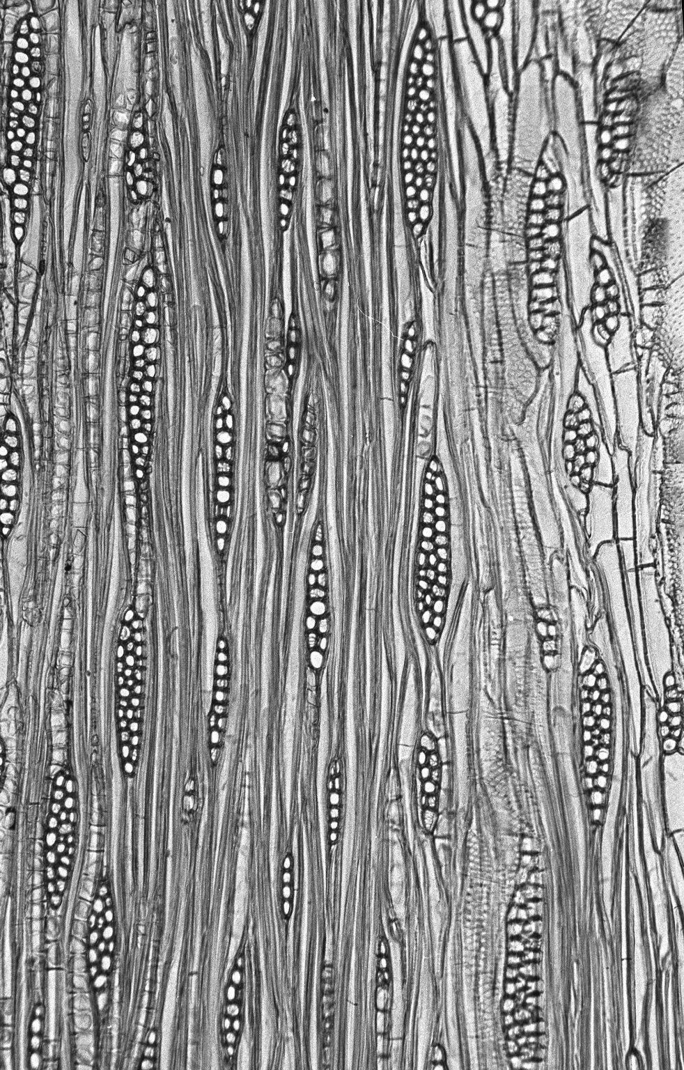 LEGUMINOSAE CAESALPINIOIDEAE Mimosoid Clade Albizia lebbekoides