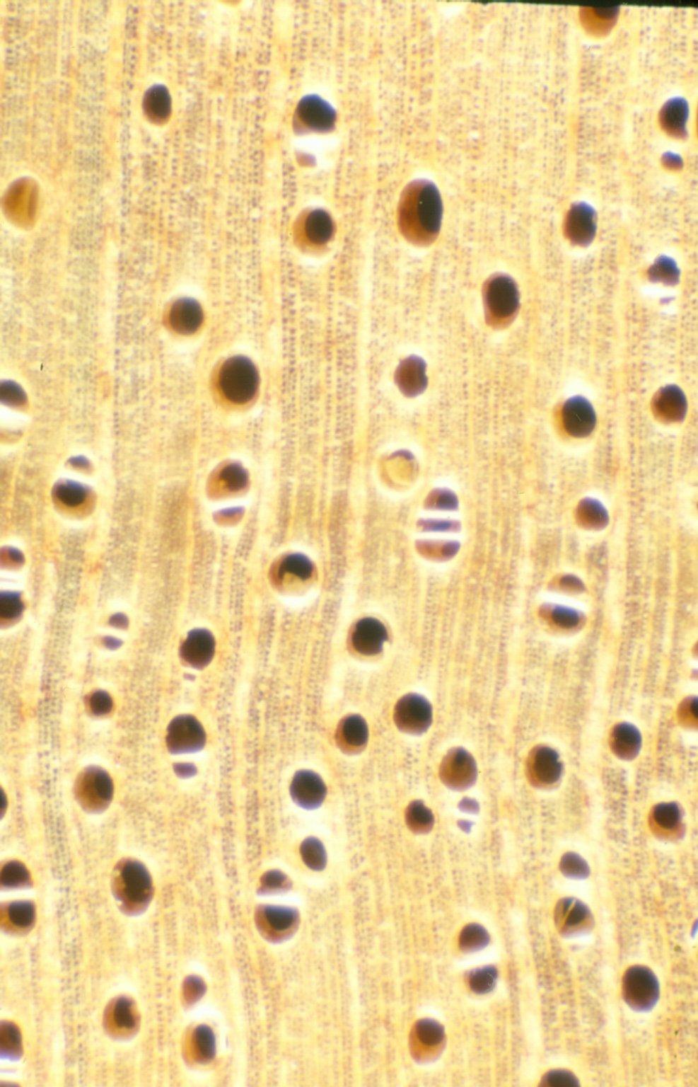 MALVACEAE GREWIOIDEAE Microcos argentata