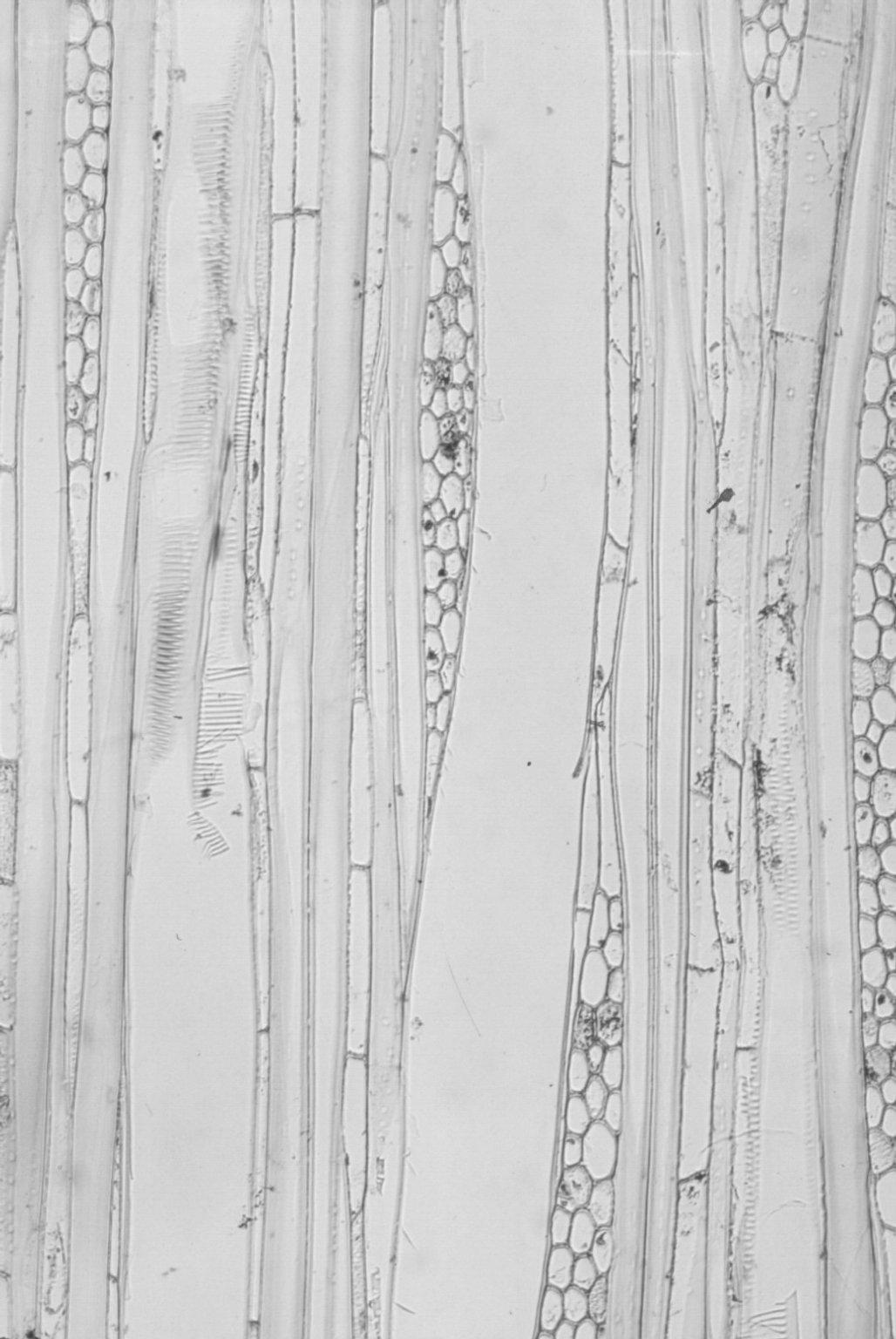 PARACRYPHIACEAE Sphenostemon pauciflorum