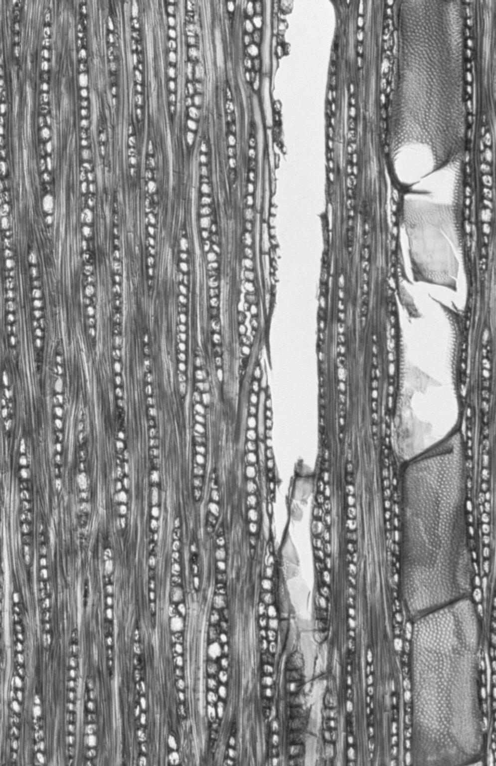 COMBRETACEAE Anogeissus acuminata