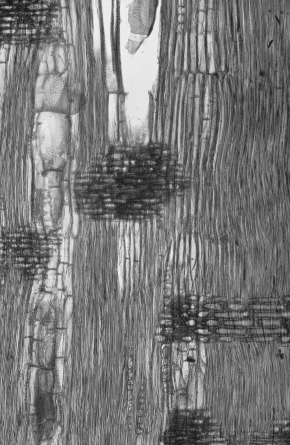 LEGUMINOSAE CAESALPINIOIDEAE Mimosoid Clade Acacia elata