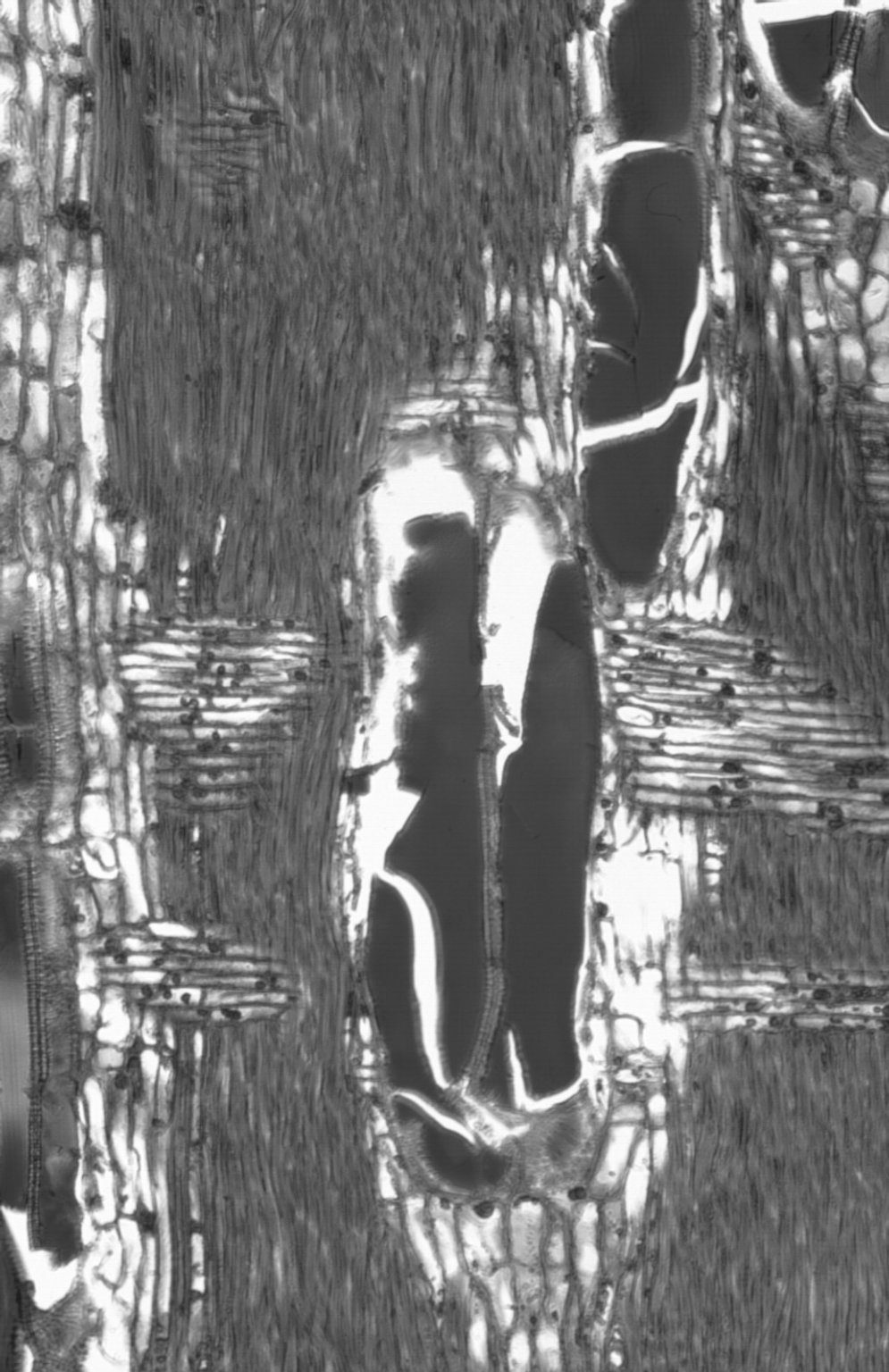 LEGUMINOSAE CAESALPINIOIDEAE Mimosoid Clade Acacia excelsa