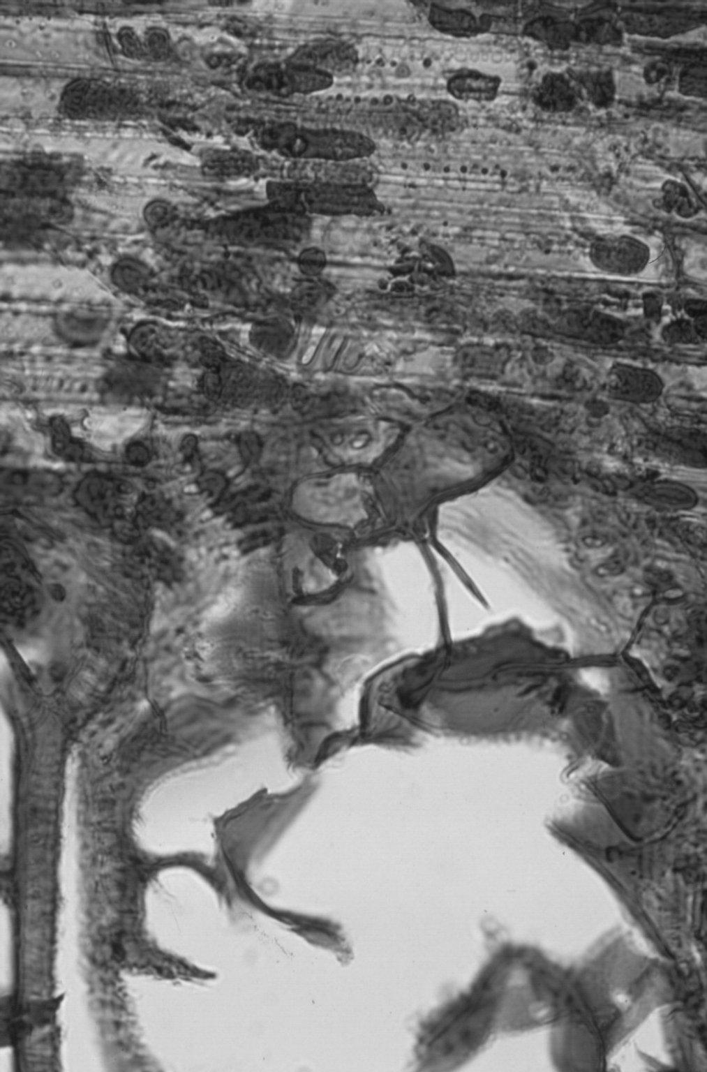 MORACEAE Maclura tinctoria