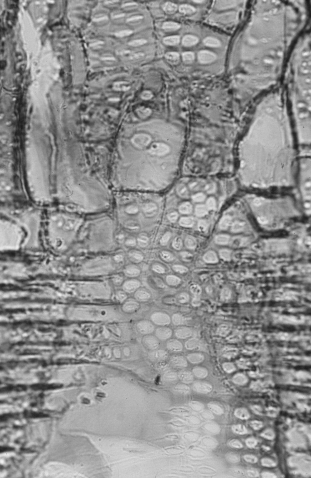 MORACEAE Morus lactea