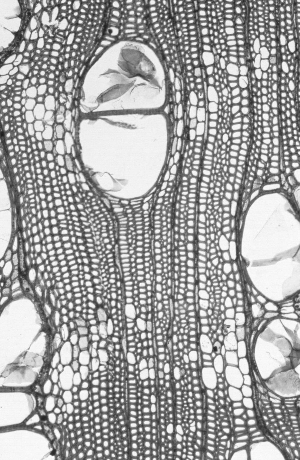 MYRTACEAE Corymbia calophylla