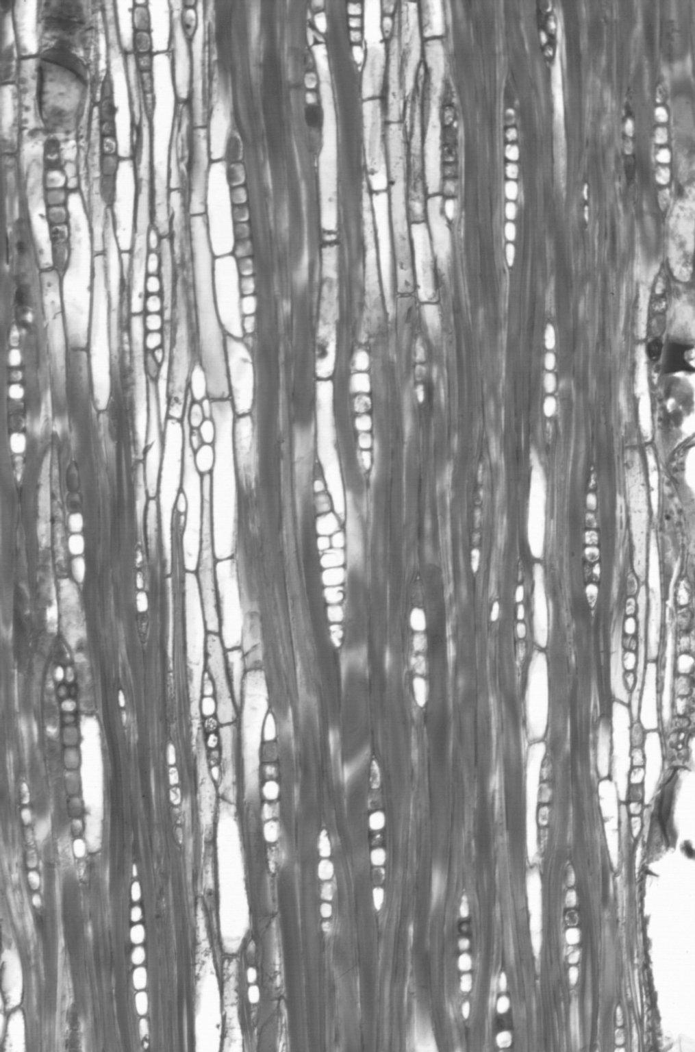 MYRTACEAE Corymbia haematoxylon