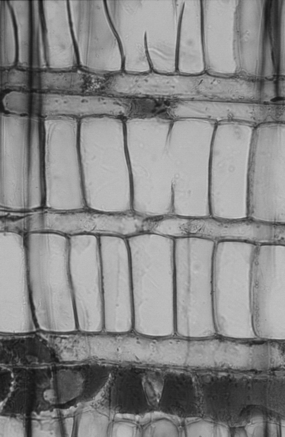 MALVACEAE DOMBEYOIDEAE Pterospermum stapfianum