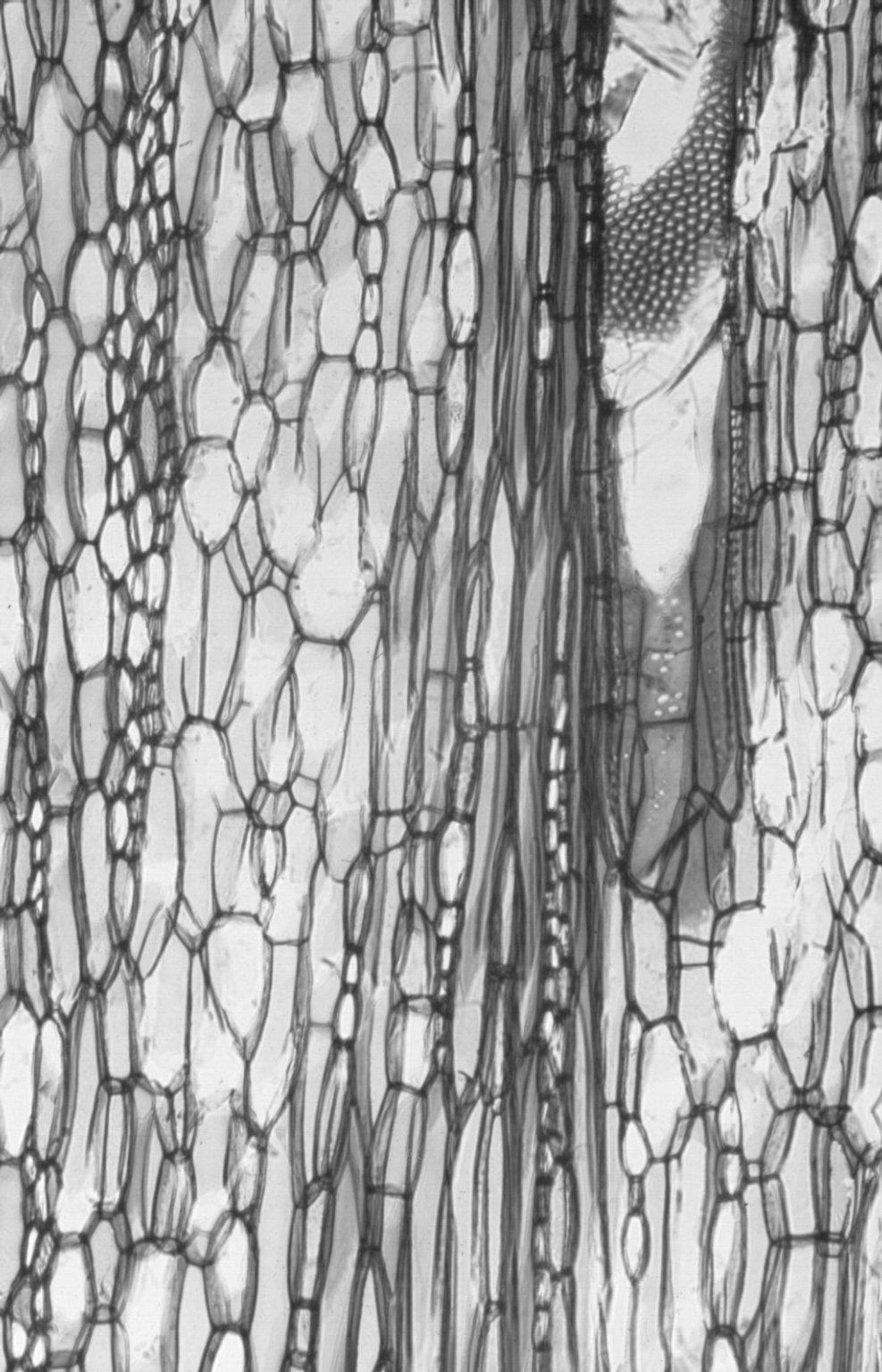 MALVACEAE GREWIOIDEAE Heliocarpus donnellsmithii