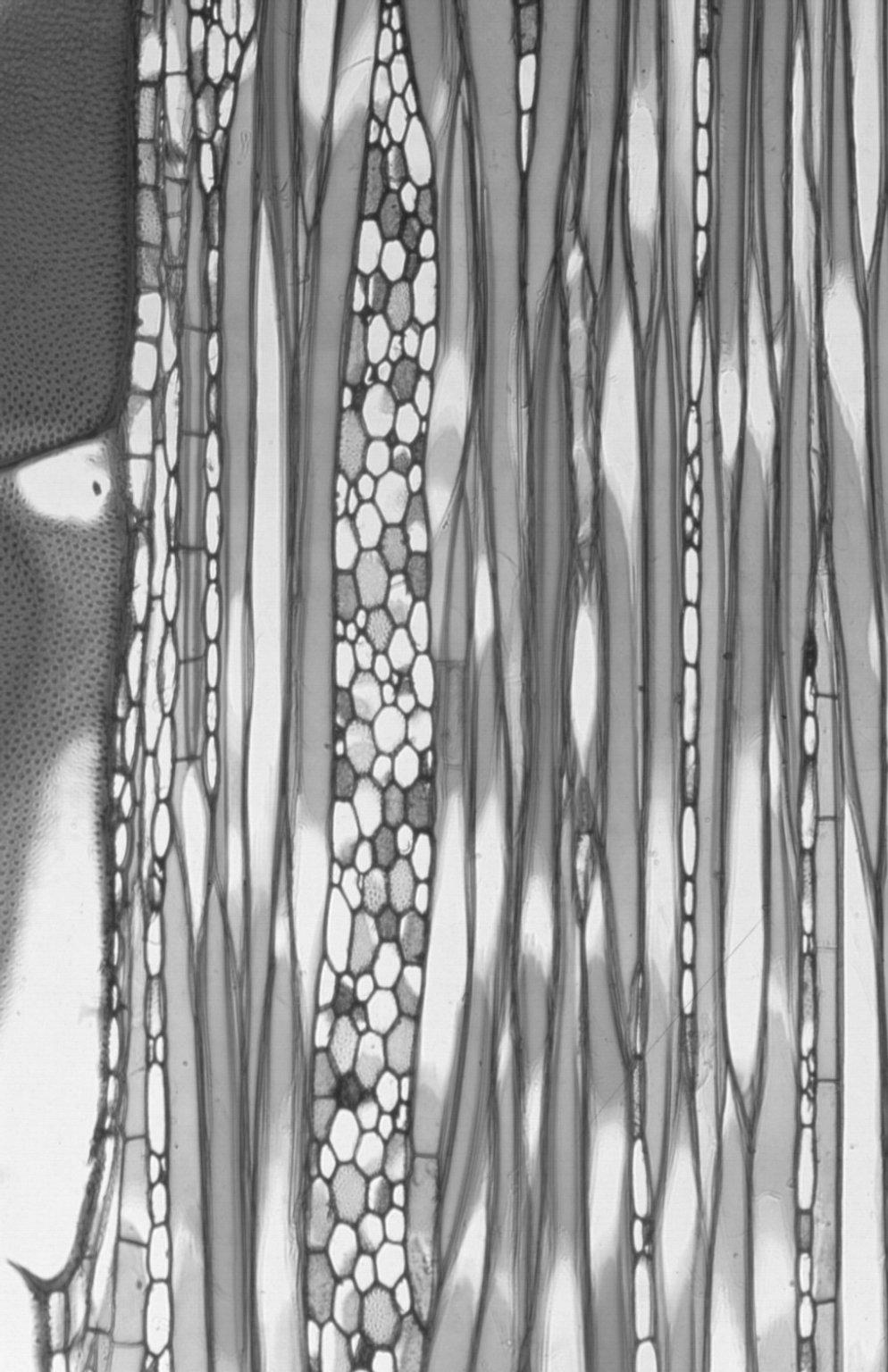 MALVACEAE GREWIOIDEAE Trichospermum pleiostigma
