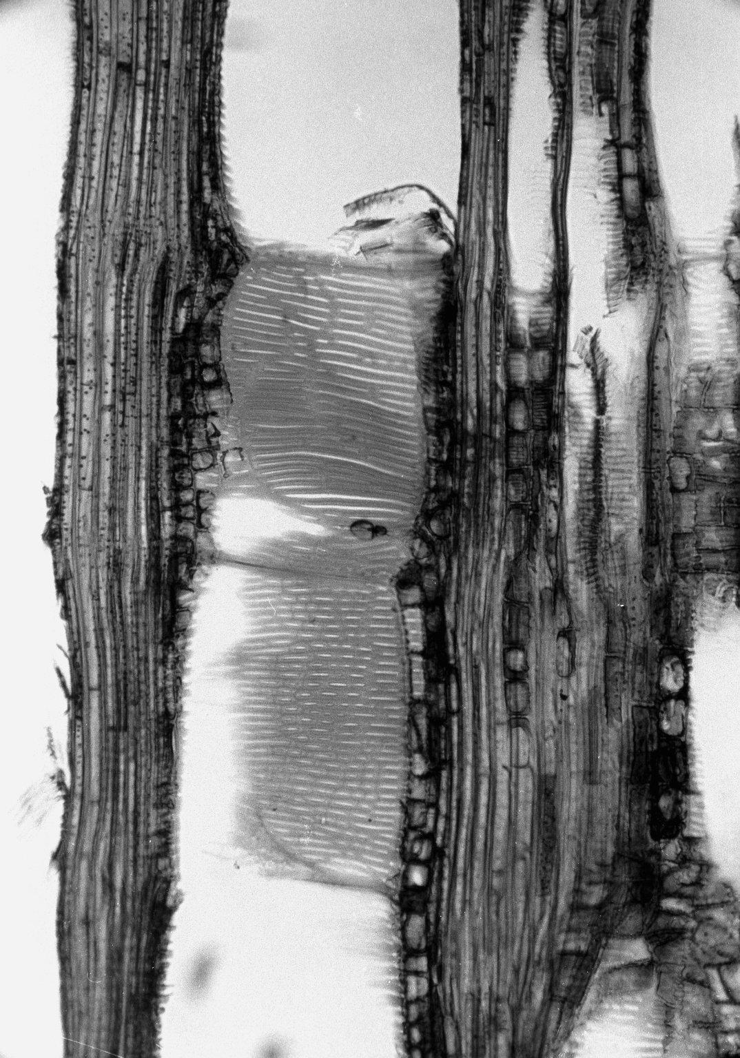 VITACEAE Ampelopsis cantoniensis