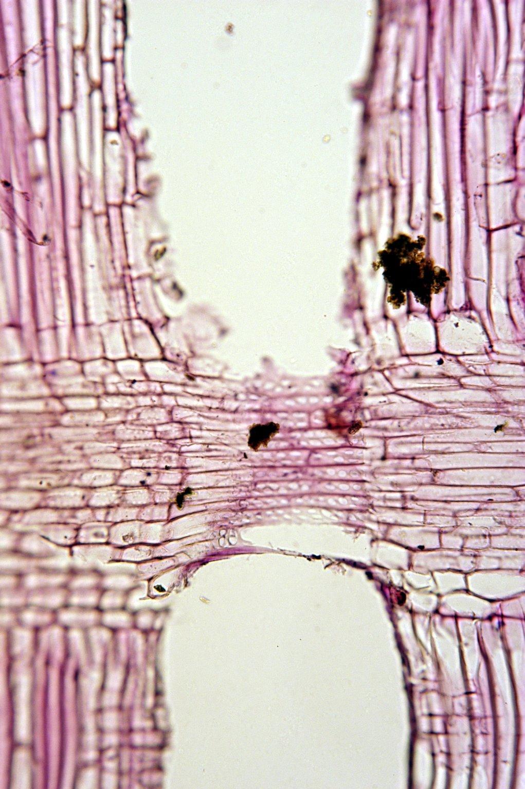 CORNACEAE Alangium premnifolium