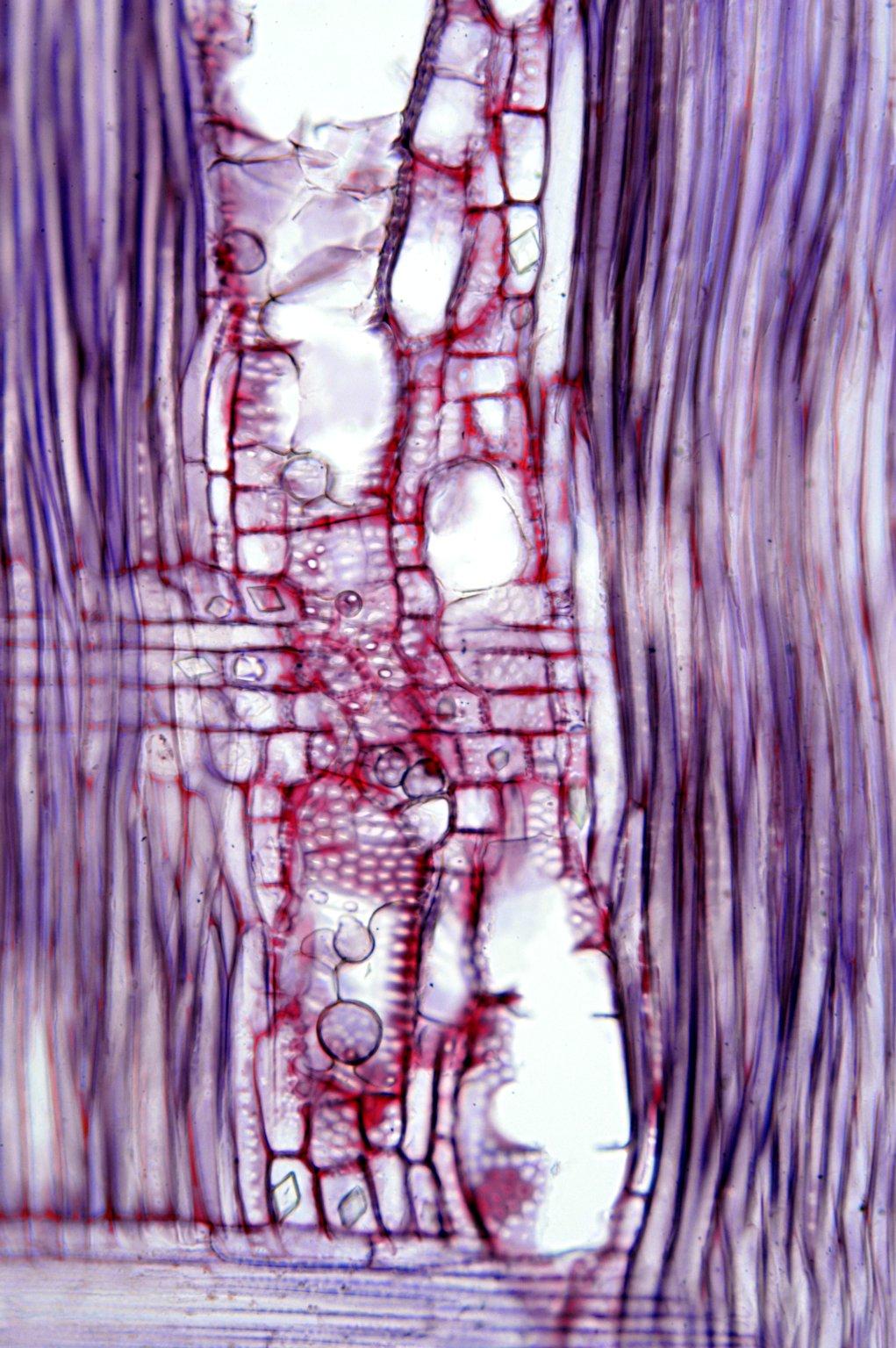 MORACEAE Morus boninensis