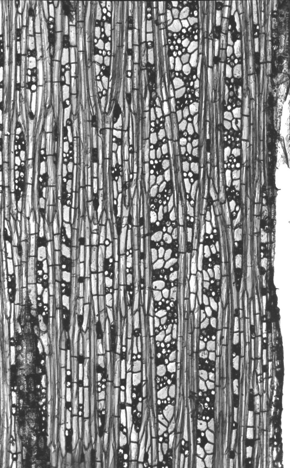 MALVACEAE DOMBEYOIDEAE Pterospermum heterophyllum