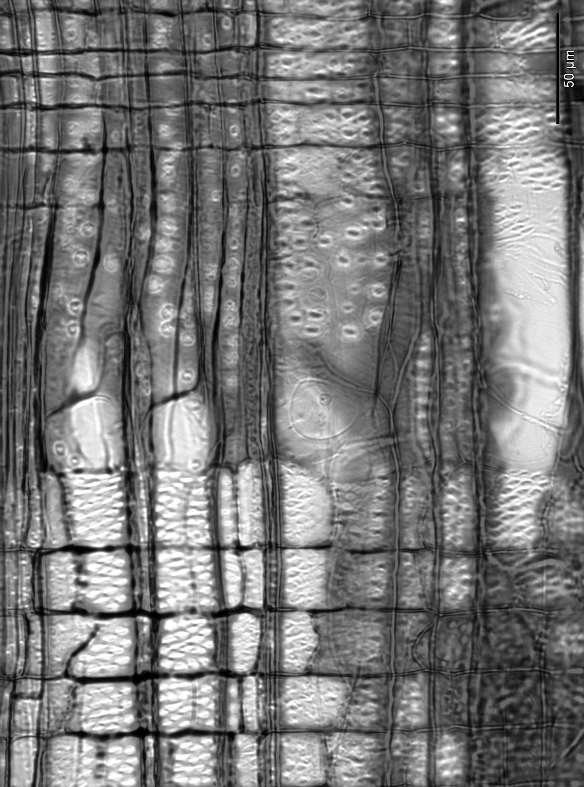 RHAMNACEAE Rhamnus pulogensis