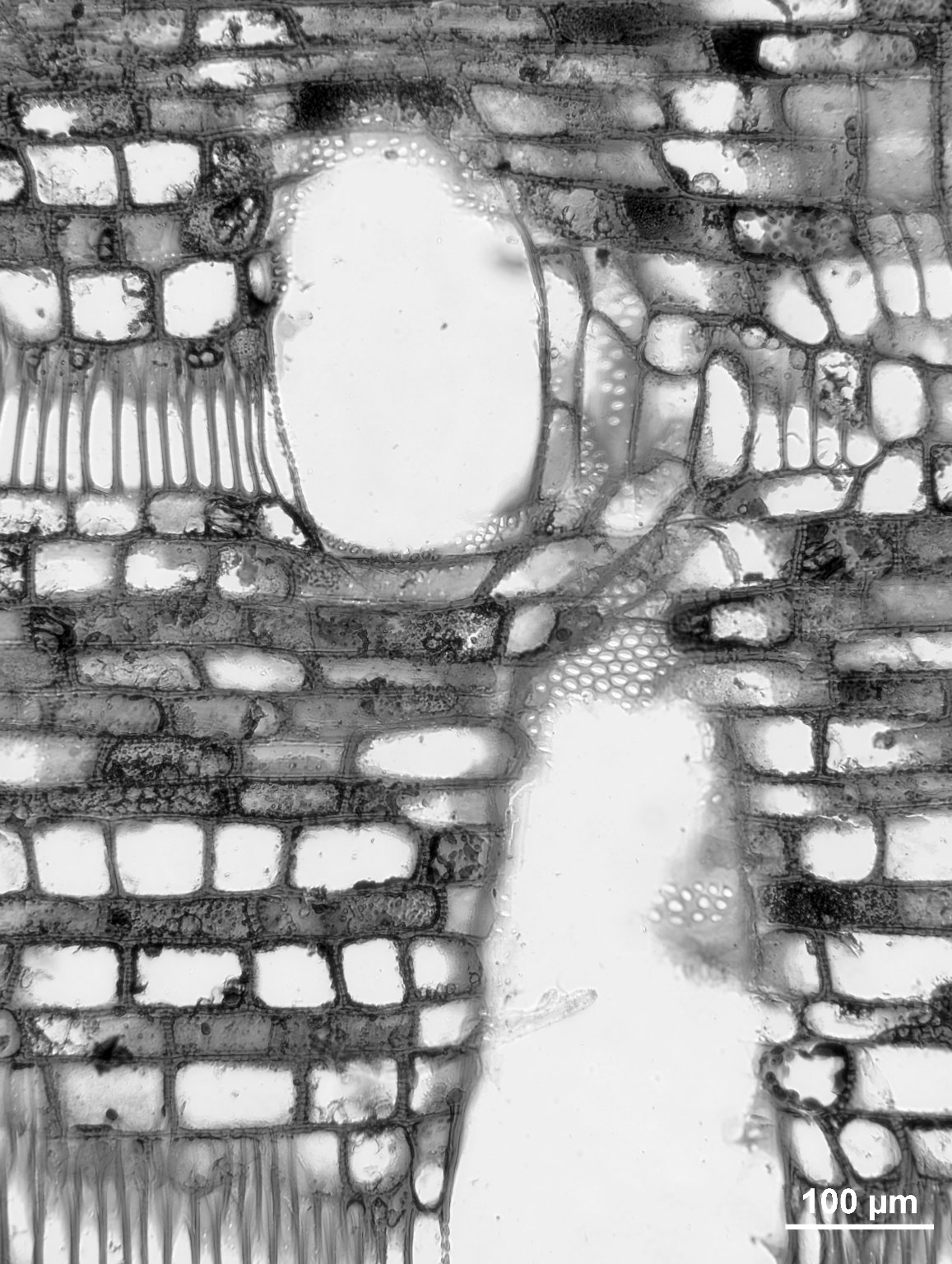 SABIACEAE Meliosma macrophylla