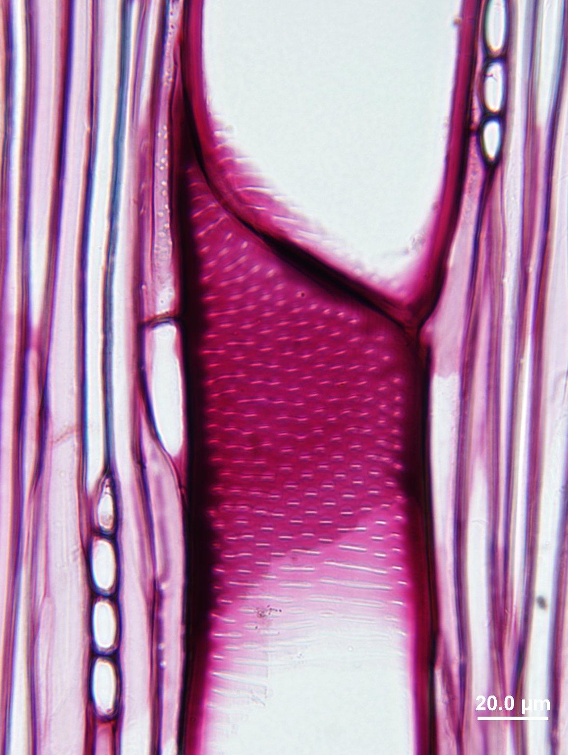 RUTACEAE Zanthoxylum piperitum