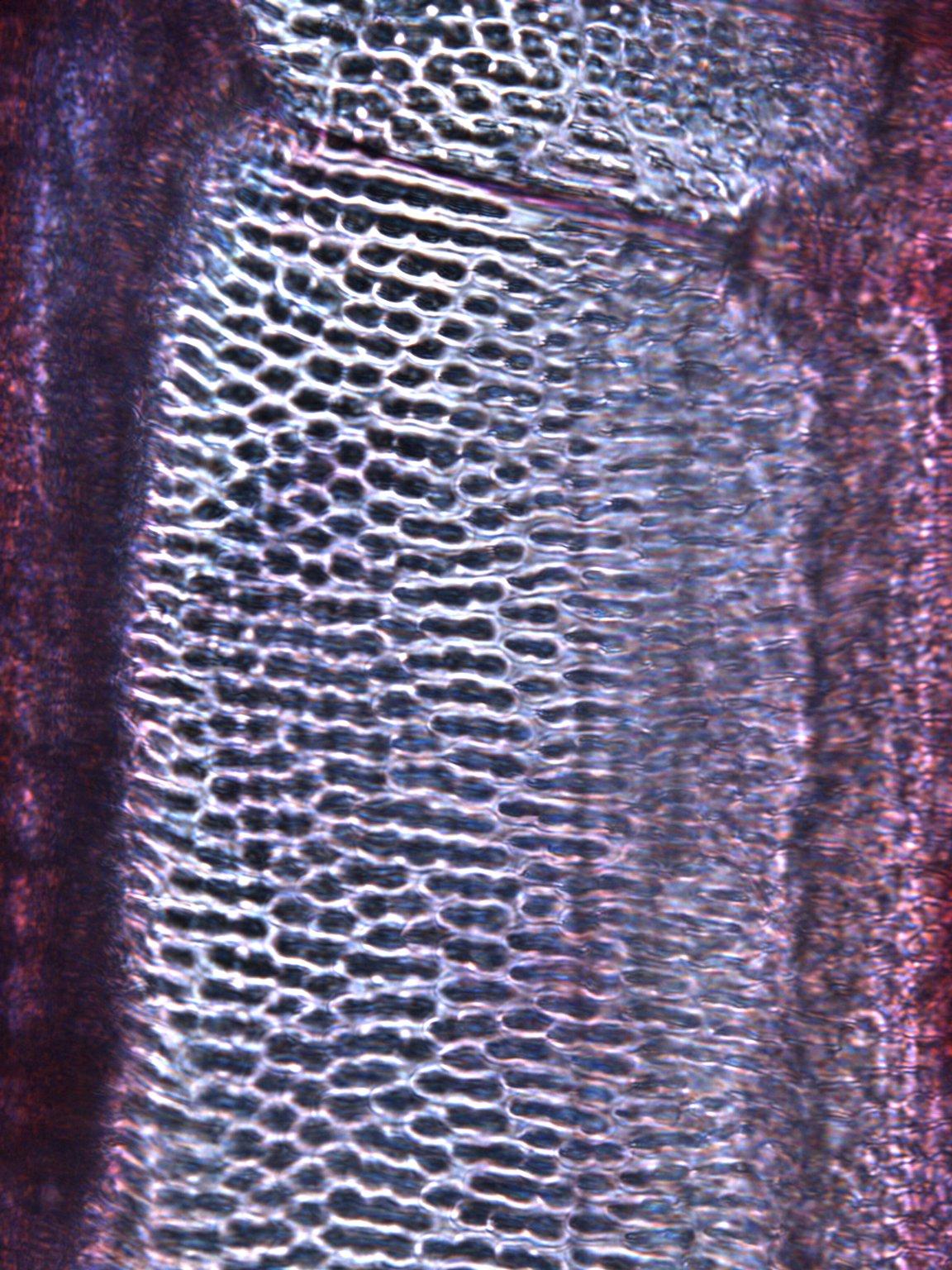 BIGNONIACEAE Pachyptera kerere