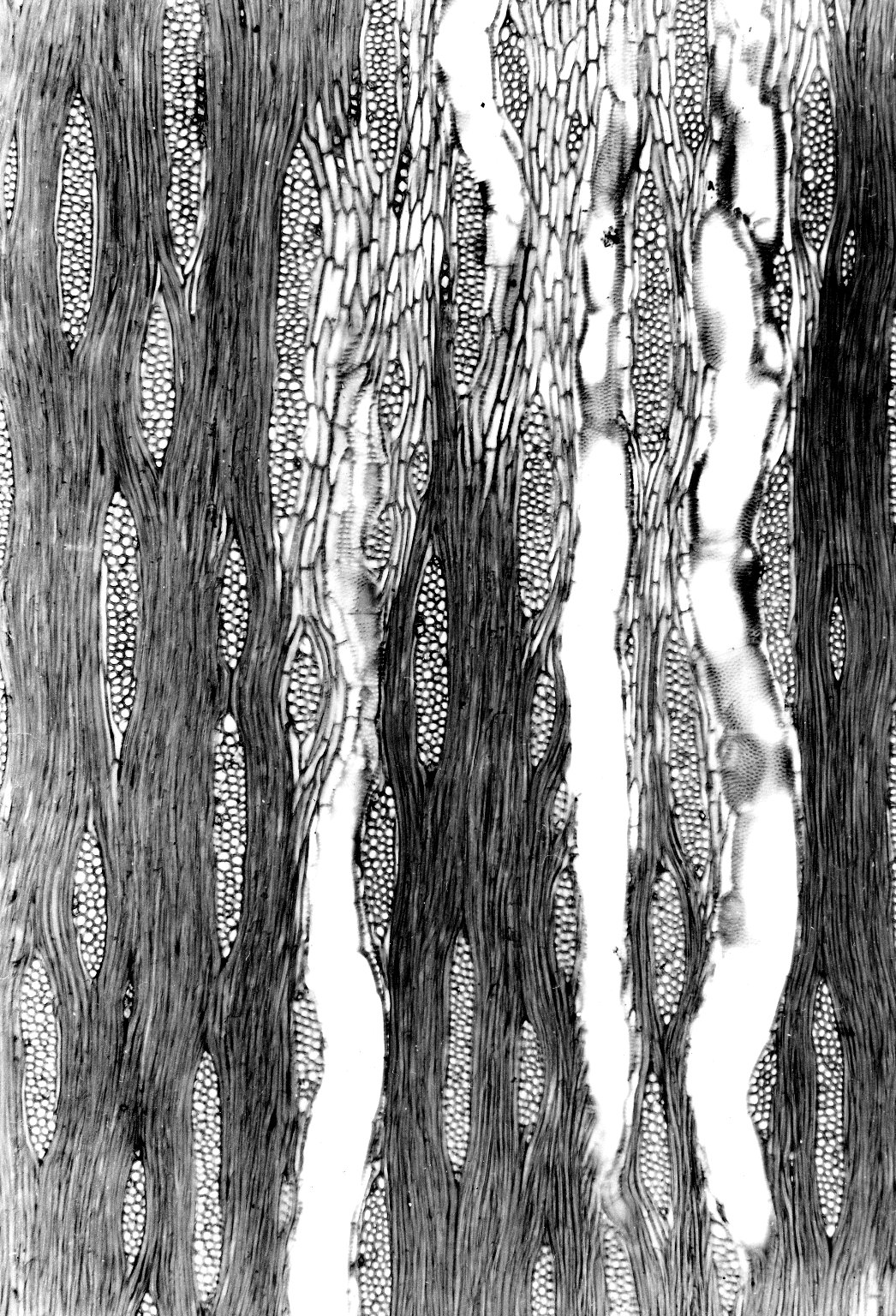 LEGUMINOSAE CAESALPINIOIDEAE Mimosoid Clade Alantsilodendron pilosum
